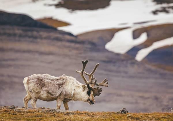Spitsbergen Reindeer David Merron