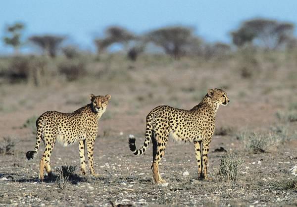 Cheetahs in the Etosha National Park