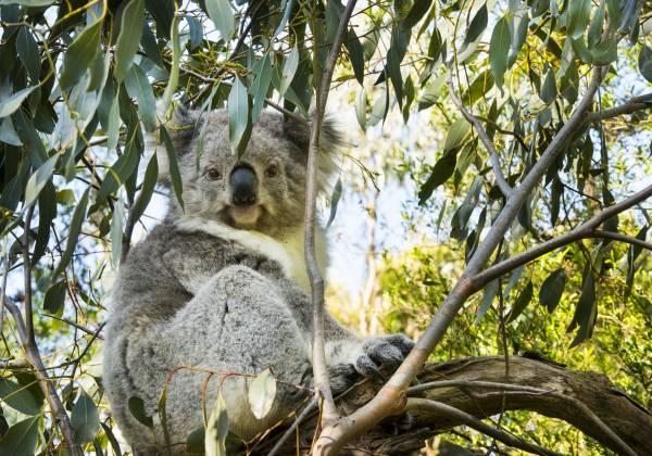 a koala bear on a branch
