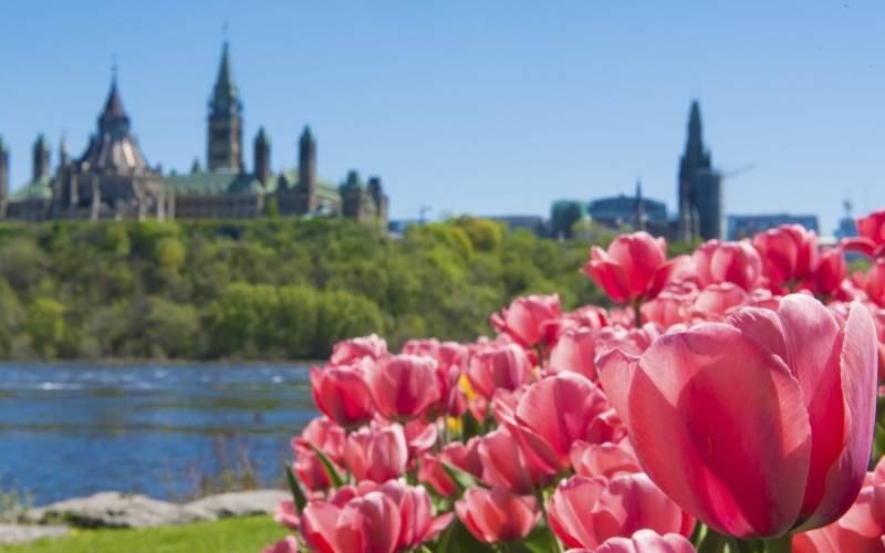 Red Tulips Parliament Hill in distance