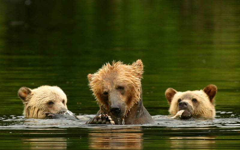 a brown bear swimming in a pool of water