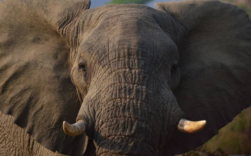 a close up of an elephant