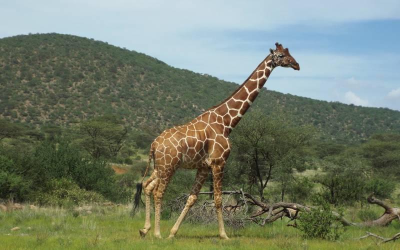 a giraffe standing on top of a lush green field