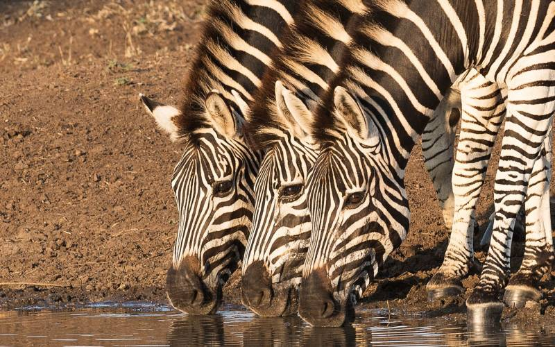 a zebra standing in the water