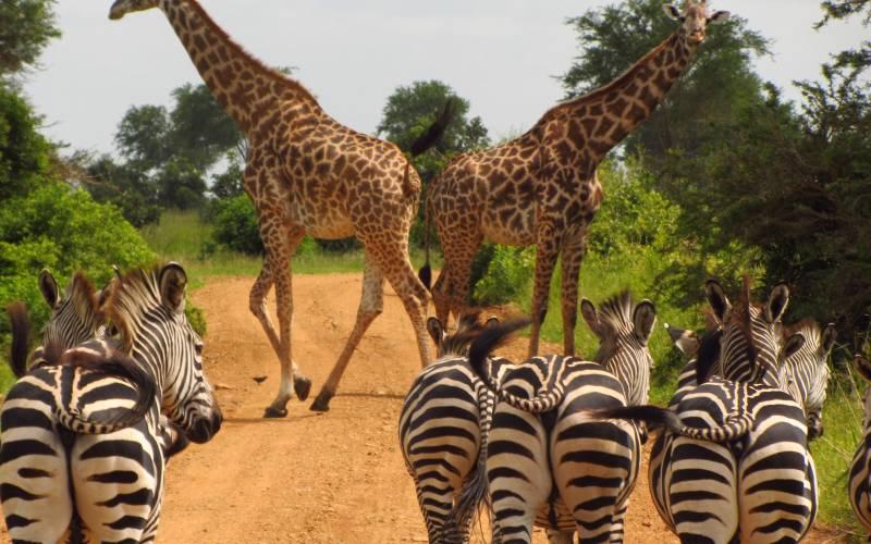 a herd of zebra standing next to a giraffe