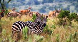 eine Zebraherde, die auf einem grasbewachsenen Feld steht