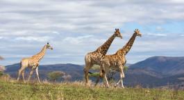 eine Gruppe giraffen, die auf einer üppigen grünen Wiese steht