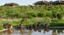 Lu00f6wen beim Wassertrinken vor dem Tau Pan Camp in Central Kalahari, Botswana
