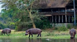 eine Herde von Rindern, die über einen Fluss laufen