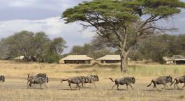 Gnus Herde laufen durch das Ubuntu Camp N Hotel im nu00f6rdlichen Serengeti, Tansania