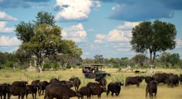eine Rinderherde, die über ein grasbewachsenes Feld läuft