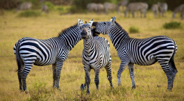 Zebras in africa walking on the savannah, Arusha, Tanzania Tours, Africa