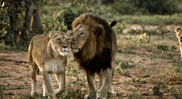 Zwei Lu00f6wen im Su00fcdlichen Kruger-Nationalpark in Su00fcdafrika