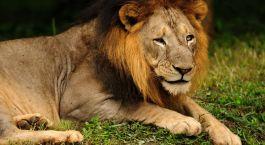 ein Löwe, der im Gras liegt