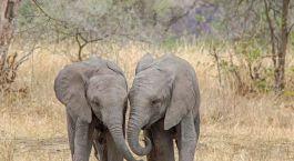 ein Elefantenbaby, das durch ein trockenes Grasfeld läuft