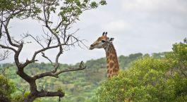 eine Giraffe, die auf einem Feld steht