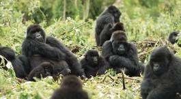 Gorilla-Trekking im Mountain Gorilla View, Ruanda