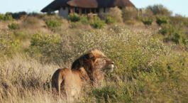 Lu00f6we im Duma Tau Camp in Central Kalahari, Botswana