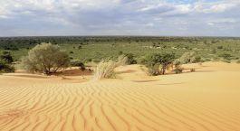 Dune vegetation. Desert landscape in the Kalahari desert, Northern Cape, South africa