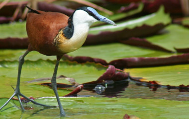 Jacana on waterlilies, Chobe River, Caprivi Strip, Botswana, Africa