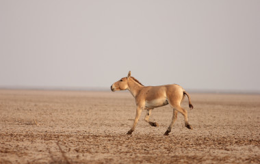 Bajana (Little Rann of Kutch)