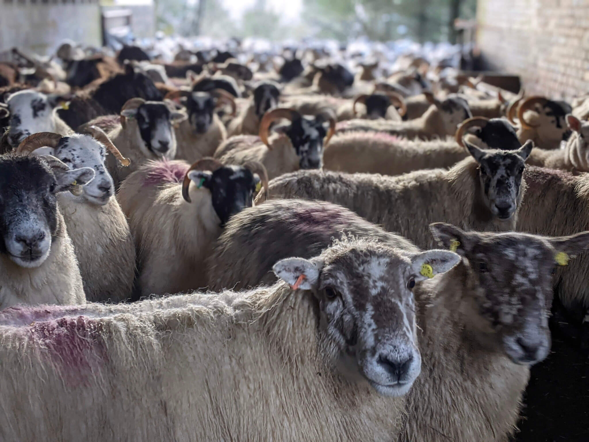 Over 300 pregnant sheep waiting to be scanned.