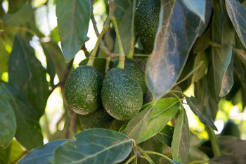 Photograph of Hass avocado on Californian farm. California grows 90 percent of avocados in the U.S. (Image courtesy of Zac Benedict.)