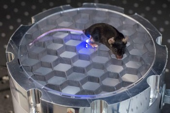 This mouse's body transmits energy to an implantable device that delivers light to stimulate leg nerves in a Stanford optogenetics project.
