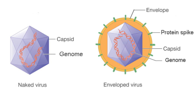 Naked and enveloped viruses. The envelope of the SARS-CoV-2 virus is composed of a lipid bilayer, which is vulnerable to soap, detergents, alcohol, bleach and other chemicals. (Image courtesy of McGraw-Hill.)