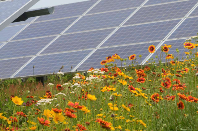Pollinator-friendly ground cover with a solar array. (Image courtesy of Perdue Farms.)