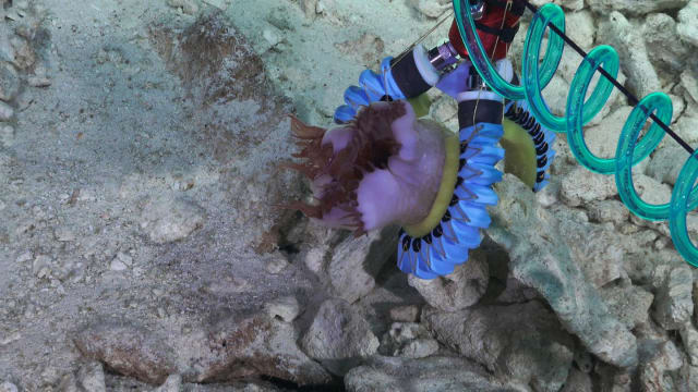 A three-finger soft manipulator grasping a sea anemone attached to a rock on a hard substrate. (Image courtesy of Schmidt Ocean Institute.)