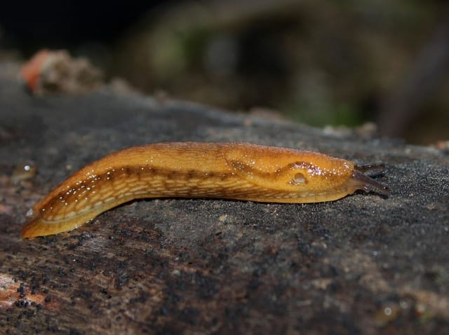 Arion subfuscus. (Image courtesy of H. Krisp/Wikimedia Commons.)