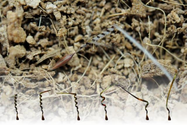 An awn of the seed of Pelargonium carnosum unwinds in response to humidity changes, and the seed digs into the ground. (Image courtesy of Jung et al.)