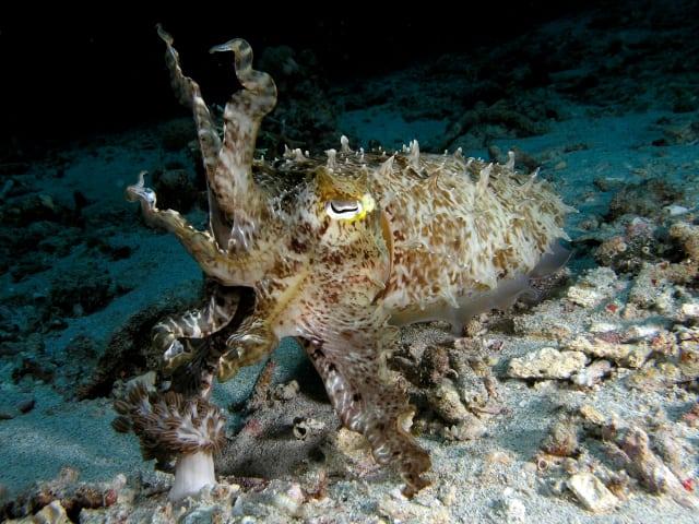 Cuttlefish in Komodo National Park. (Image courtesy of Nick Hobgood.)