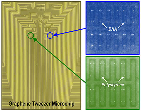 The University of Minnesota team produced a microchip containing a large array of graphene electronic tweezers. Fluorescence images show DNA molecules and polystyrene nanoparticles trapped on the chip. (Image courtesy of Barik et al./University of Minnesota.)