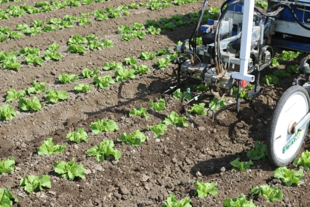 This robotic weeder is operating in a field near Santa Maria, CA in June 2015. (Image courtesy of Steven Fennimore.)