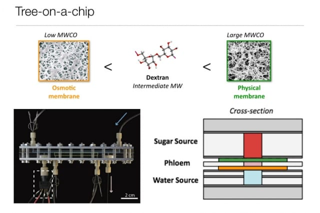 Like its natural counterparts, the chip operates passively, requiring no moving parts or external pumps. It is able to pump water and sugars through the chip at a steady flow rate for several days. (Image courtesy of MIT.)