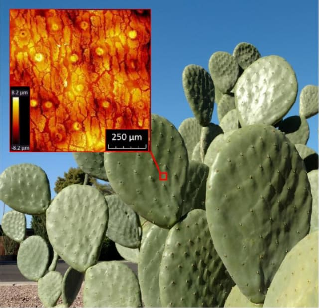A picture of a prickly pear taken in Arizona along with an optical profilometry image revealing the cracks in the epidermis. (Image courtesy of Konrad Rykaczewski)
