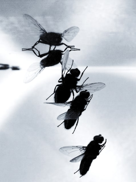 A fly completing a series of complex maneuvers to land upside down on a ceiling. (Image courtesy of Penn State.)