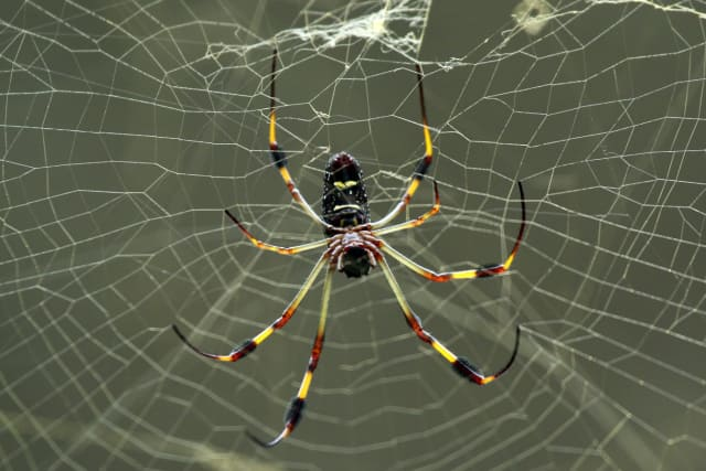 Spider silk—good stuff (Image courtesy of Sharp Photography/Wikimedia Commons.)