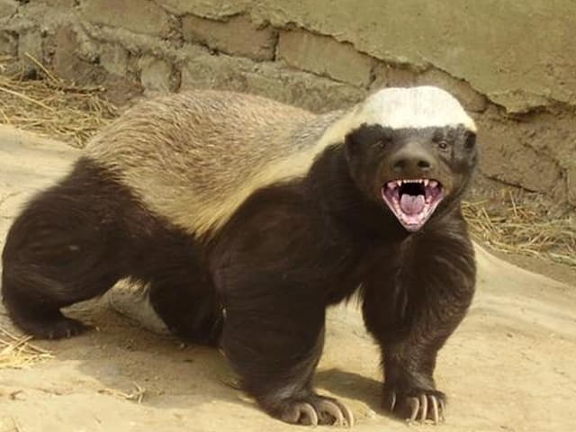 """Alibaba CTO says the """"Ping-Tou-ge"""" (honey badger) has """"great intelligence"""" and """"isn't afraid of anything."""" (Image courtesy of a viral honey badger YouTube video.)"""