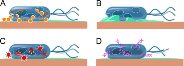 Killing by contact. This cartoon shows the tentative events in copper's contact killing. A: Copper dissolves from the copper surface and causes cell damage. B: The cell membrane ruptures because of copper and other stress phenomena, leading to loss of membrane potential and cytoplasmic content. C: Copper ions induce the generation of reactive oxygen species, which cause further cell damage. D: Genomic and plasmid DNA becomes degraded. (Image courtesy of American Society of Microbiology.)
