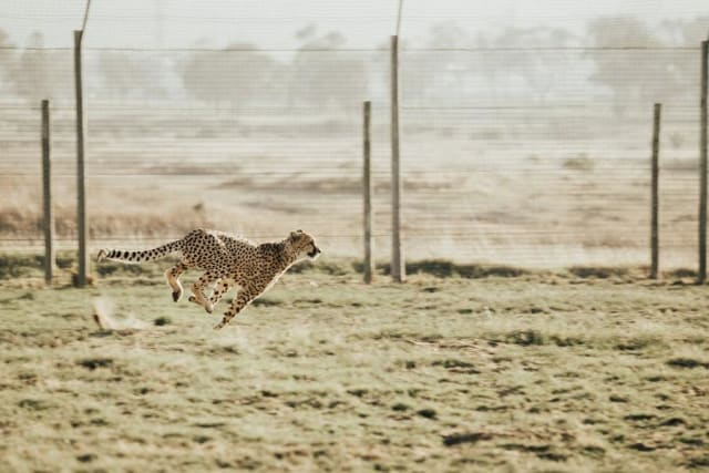 A cheetah in motion. (Image by Cara Fuller. Sourced from Unsplash.)