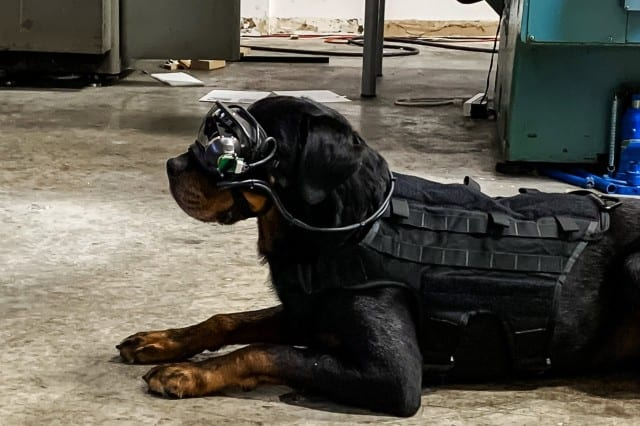 Mater, the dog of Command Sight founder, Dr. A. J. Peper, tests the initial AR goggles prototype. (Photo courtesy of Command Sight and the Army Research Office.)