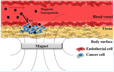 Magnetic drug delivery system under the influence of external magnetic field.  (Image courtesy of the ScienceDirect, Jae HyungPark.)