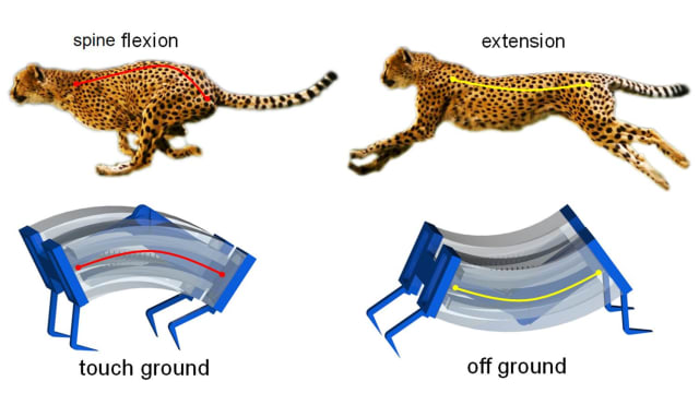 The two states of the cheetah's bistable spine and the soft robot design that mimics them. (Image courtesy of North Carolina State University.)
