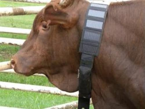 Farmers can monitor the everyday activities of cattle by having them wear wireless IoT monitor devices. (Imagecourtesy of Active Communications.)