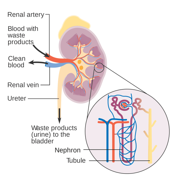Throughout the long, windy structure of each nephron, minerals and other molecules are reabsorbed into the body, while waste is sent to the bladder for excretion. (Image courtesy of Wikipedia.)