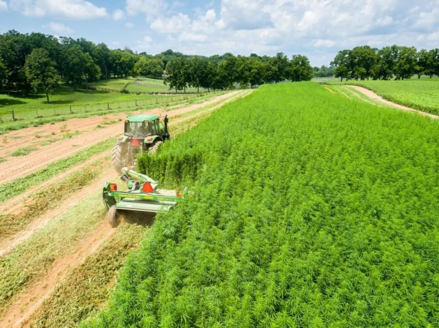 "A hemp field in Kentucky. Soon, fields like this will supply ""engineered wood"" that could replace hardwoods like oak. (Image courtesy of Matt Barton, University of Kentucky.)"
