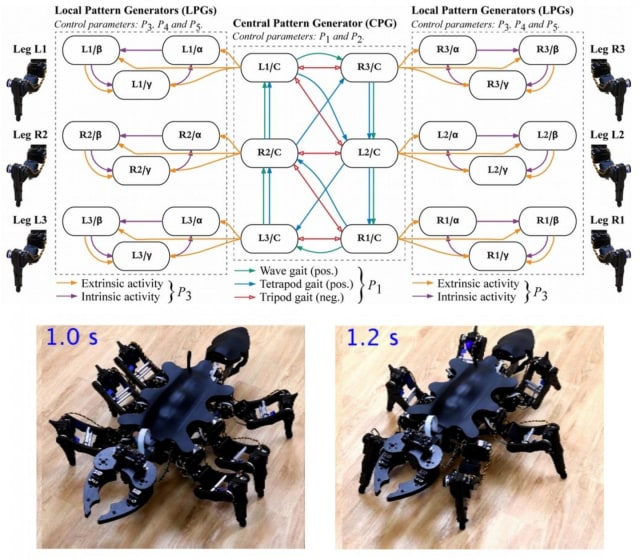 Top: Architecture of the controller, showing the central pattern generator, which controls the overall gait pattern, and at both sides, the six local pattern generators, which control individual leg trajectories. Bottom: Representative still-images of the robot walking in an ant-like posture (left) and a cockroach-like posture (right). (image courtesy of IEEE Access.)